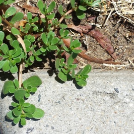 Purslane growing in the nature strip